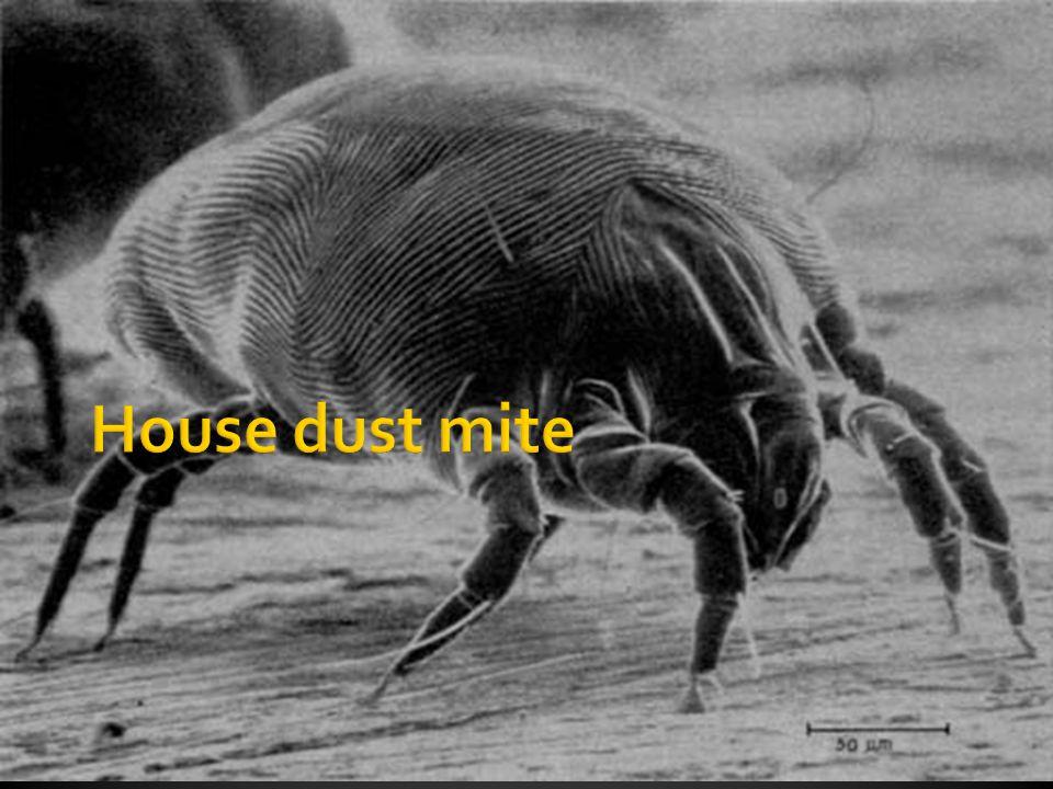  Contoh  Dermatophagoides pteronyssinus,  Dermatophagoides farinae  Ukuran: 0,25–0,32x0,4mm  Habitat:  hidup di semua musim, siuntungkan dengan suasana lembab  Didapatkan pada: terutama pada perlengkapan tidur, tetapi juga mudah didapatkan di debu perabotan, dan terutama adalah karpet  1 m 2 dapat hidup 400.000 kutu
