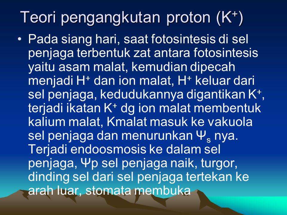 Teori pengangkutan proton (K + ) Pada siang hari, saat fotosintesis di sel penjaga terbentuk zat antara fotosintesis yaitu asam malat, kemudian dipeca