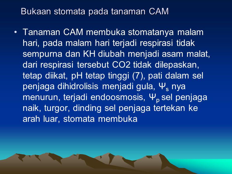 Bukaan stomata pada tanaman CAM Tanaman CAM membuka stomatanya malam hari, pada malam hari terjadi respirasi tidak sempurna dan KH diubah menjadi asam
