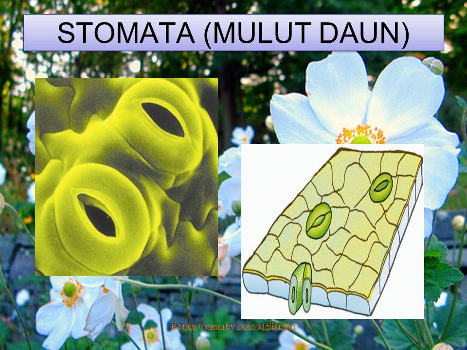 STOMATA (MULUT DAUN) Botani Umum by Dian Meliantari