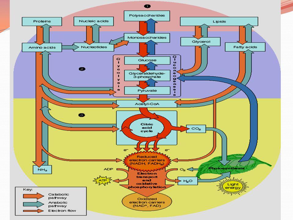 Penggunaan Asetil KoA Asetil KoA yang terbentuk pada oksidasi asam lemak dapat masuk ke dalam siklus asam sitrat hanya apabila degradasi lemak dan degradasi karbohidrat berjalan seimbang.