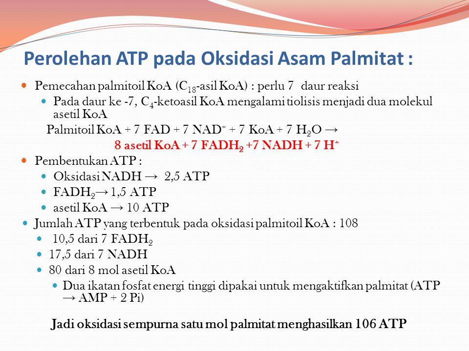 Perolehan ATP pada Oksidasi Asam Palmitat : Pemecahan palmitoil KoA (C 18 -asil KoA) : perlu 7 daur reaksi Pada daur ke -7, C 4 -ketoasil KoA mengalam