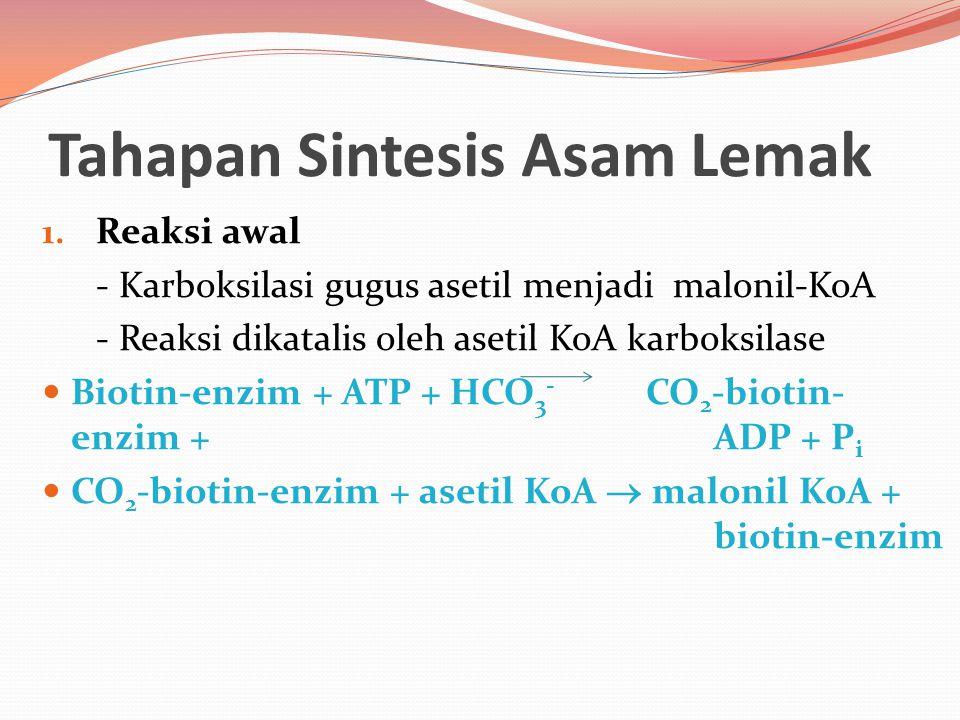 Tahapan Sintesis Asam Lemak 1. Reaksi awal - Karboksilasi gugus asetil menjadi malonil-KoA - Reaksi dikatalis oleh asetil KoA karboksilase Biotin-enzi