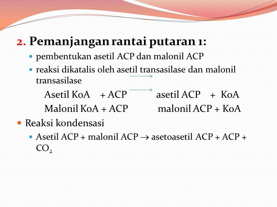 2. Pemanjangan rantai putaran 1: pembentukan asetil ACP dan malonil ACP reaksi dikatalis oleh asetil transasilase dan malonil transasilase Asetil KoA