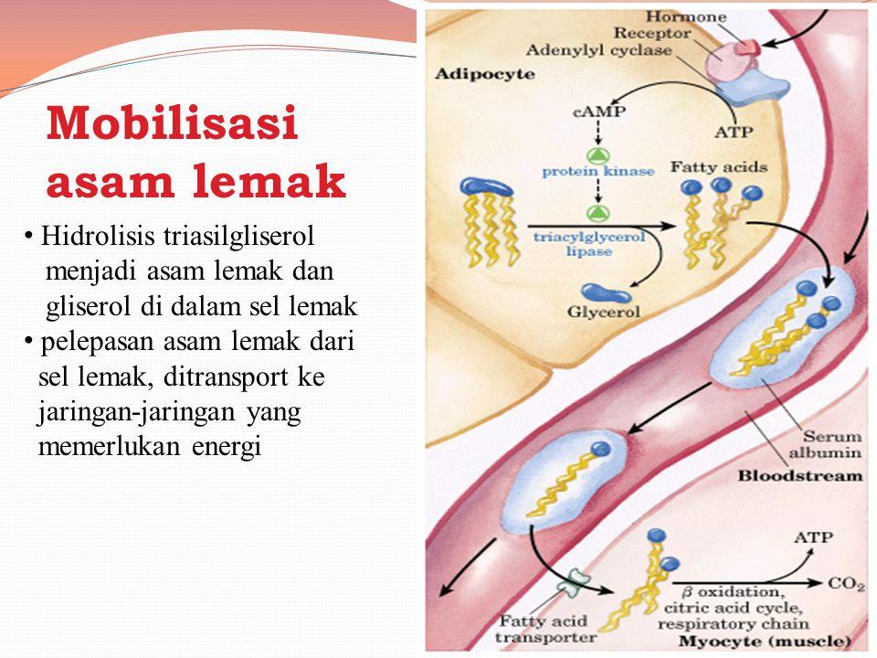 Degradasi asam lemak tak jenuh Membutuhkan 2 enzim tambahan yi Enoyl CoA isomerase 2,4 dienoyl CoA reduktase