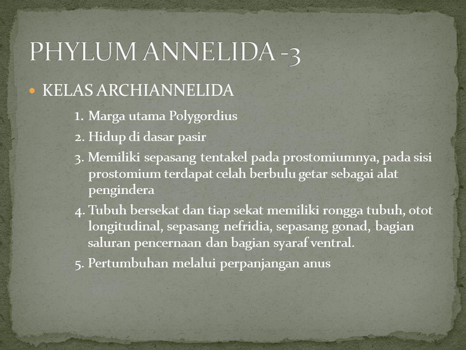 KELAS ARCHIANNELIDA 1. Marga utama Polygordius 2. Hidup di dasar pasir 3. Memiliki sepasang tentakel pada prostomiumnya, pada sisi prostomium terdapat