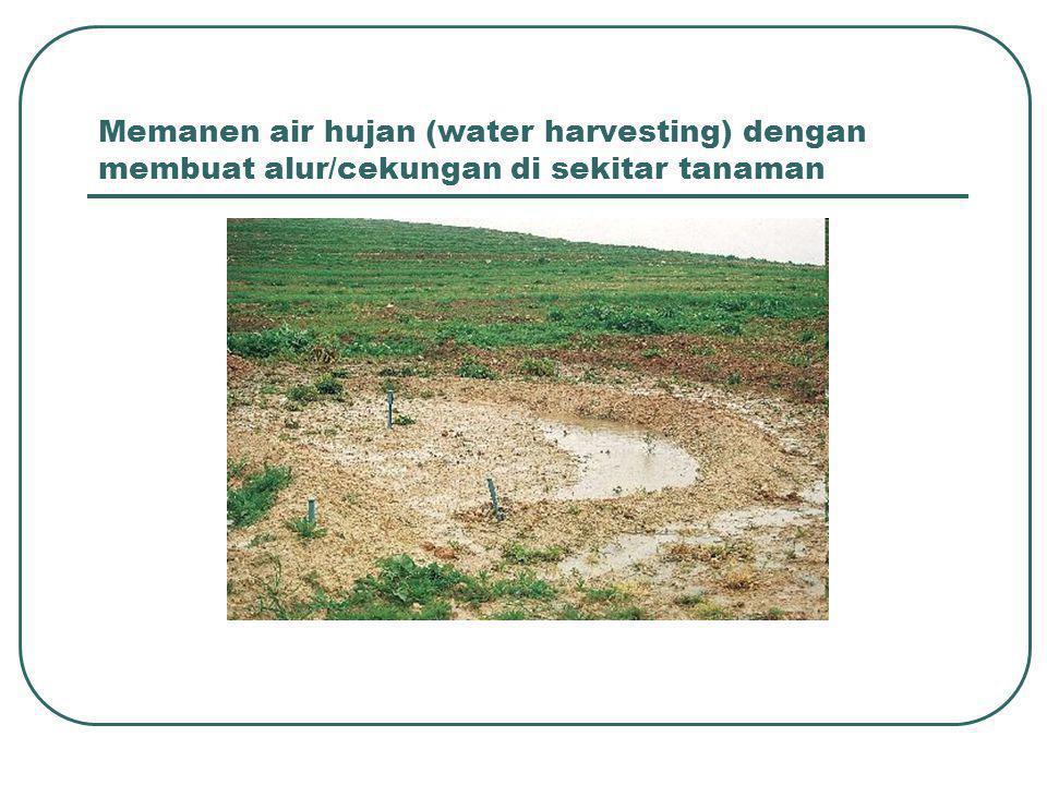 Memanen air hujan (water harvesting) dengan membuat alur/cekungan di sekitar tanaman