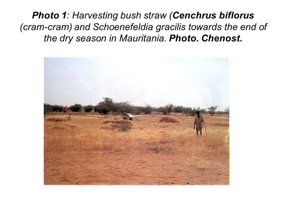 Photo 1: Harvesting bush straw (Cenchrus biflorus (cram-cram) and Schoenefeldia gracilis towards the end of the dry season in Mauritania.