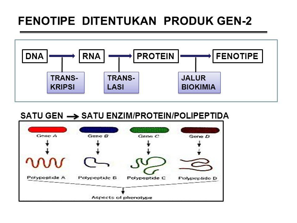 FENOTIPE DITENTUKAN PRODUK GEN-2 SATU GEN SATU ENZIM/PROTEIN/POLIPEPTIDA DNARNAPROTEINFENOTIPE TRANS- KRIPSI TRANS- LASI JALUR BIOKIMIA