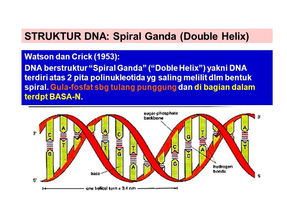 STRUKTUR DNA: Spiral Ganda (Double Helix) Watson dan Crick (1953): DNA berstruktur Spiral Ganda ( Doble Helix ) yakni DNA terdiri atas 2 pita polinukleotida yg saling melilit dlm bentuk spiral.
