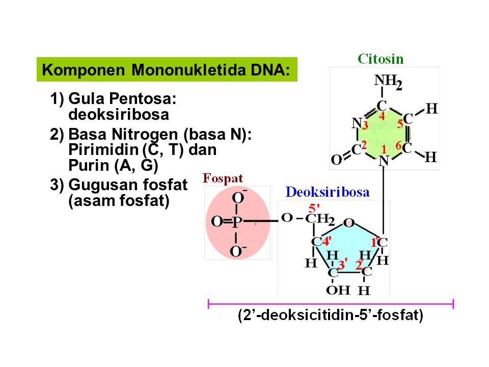 Komponen Mononukletida DNA: 1)Gula Pentosa: deoksiribosa 2)Basa Nitrogen (basa N): Pirimidin (C, T) dan Purin (A, G) 3)Gugusan fosfat (asam fosfat)