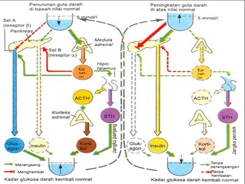 PUASA Aktifitas glikolisis oleh hormon glukagon sehingga cadangan glikogen di hati dan otot berkurang sehingga fungsi insulin dalam proses glikogenesis memiliki tempat untuk penyimpanan glikogen
