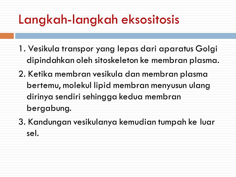 Langkah-langkah eksositosis 1.
