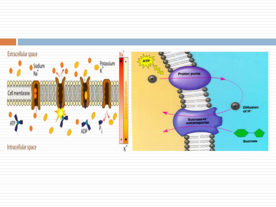 Pompa Ion  Transpor ion melewati membran plasma yang melawan gradien konsentrasi.