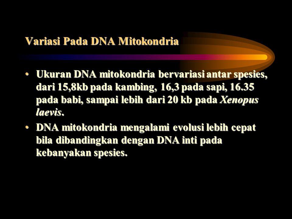 Variasi Pada DNA Mitokondria Ukuran DNA mitokondria bervariasi antar spesies, dari 15,8kb pada kambing, 16,3 pada sapi, 16.35 pada babi, sampai lebih