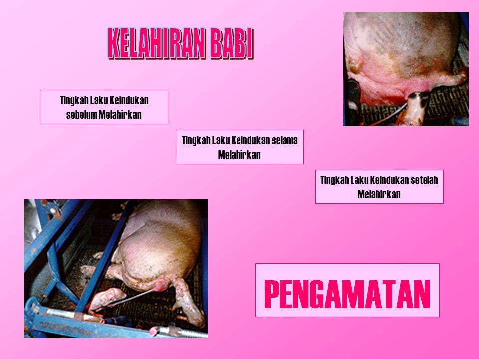 Babi mempunyai mother ability rendah Karakteristik: Induk membangun sarang untuk melahirkan Anak babi tidak berkembang  mati tertindih induknya Induk kadang memakan anaknya sendiri Jalinan induk dan anak kurang baik Induk tidak menjilati anaknya  awal pernapasan tergantung sepenuhnya pada anak