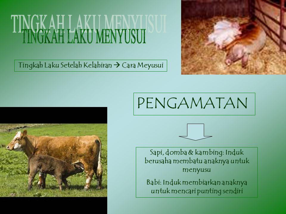 Tingkah Laku Setelah Kelahiran  Cara Meyusui PENGAMATAN Sapi, domba & kambing: Induk berusaha membatu anaknya untuk menyusu Babi: Induk membiarkan an