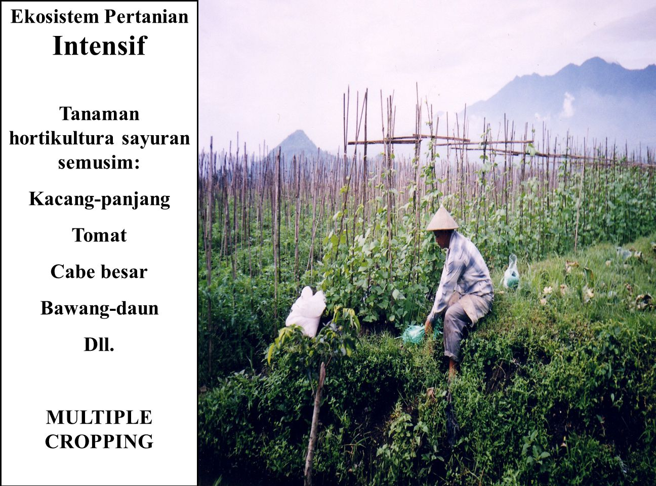 Ekosistem Pertanian Intensif Tanaman hortikultura sayuran semusim: Kacang-panjang Tomat Cabe besar Bawang-daun Dll. MULTIPLE CROPPING