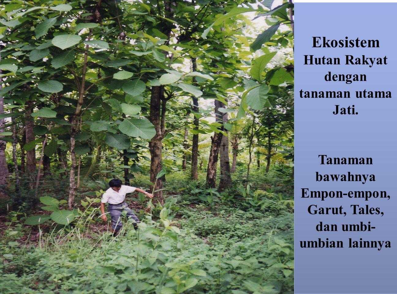 Ekosistem Hutan Rakyat dengan tanaman utama Jati. Tanaman bawahnya Empon-empon, Garut, Tales, dan umbi- umbian lainnya Ekosistem Hutan Rakyat dengan t