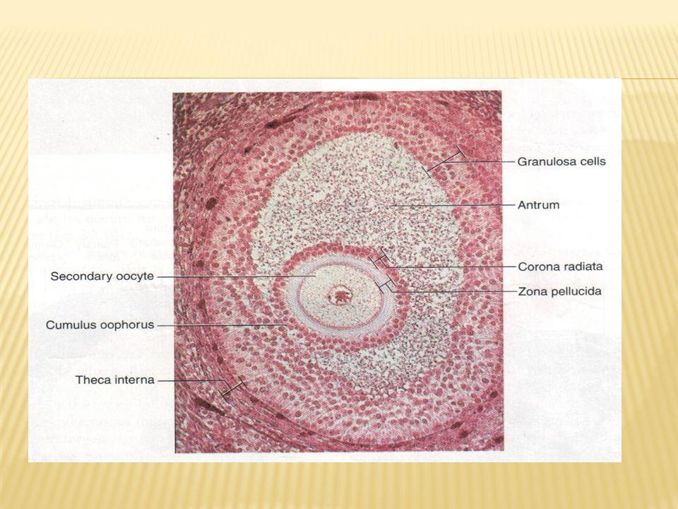 Folikel primodial = ovum yg dilapisi selapis sel epiteloid granulosa  pubertas  Folikel primer  Folikel sekunder (oocyte primer)  Folikel matur (grafian folicle) (oocyte sekunder)  ovulasi  Setiap siklus 20 folikel  tp hanya 1 yg terus tumbuh, yg lain atresia/ involusi  Ø 18 – 20 mm saat ovulasi