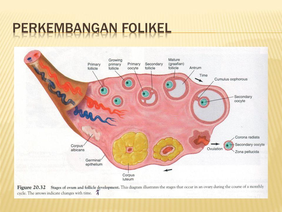  Sistem reproduksi wanita belum aktif sampai mencapai pubertas  Ovarium belum berfungsi  seksresi hormon(-)  Hormon GnRH hipotalamus disupresi  Hipotalamus aktif  GnRH  hipofisis  FSH dan LH  ovarium menghasilkan estrogen  Sekresi estrogen  ovarium aktif  induksi pertumbuhan dan pematangan saluran reproduksi wanita & perkembangan karakteristik seks sekunder wanita