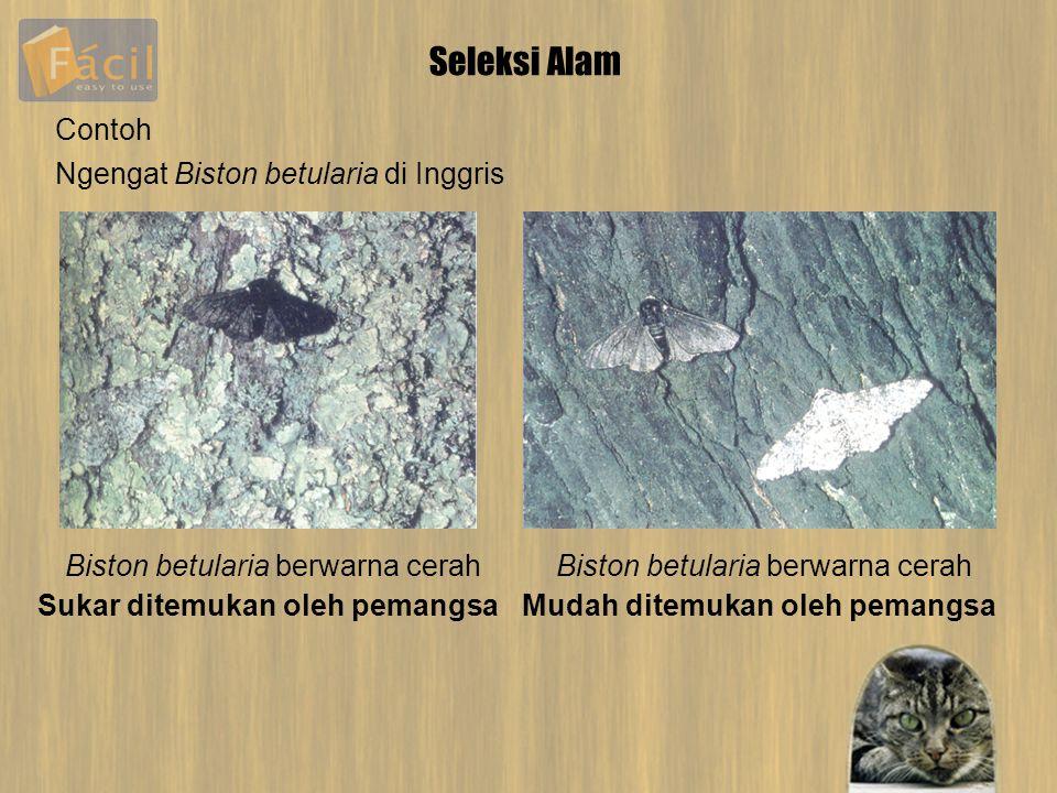 Seleksi Alam Contoh Ngengat Biston betularia di Inggris Biston betularia berwarna cerah Sukar ditemukan oleh pemangsaMudah ditemukan oleh pemangsa