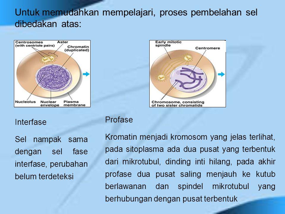 Metafase Spindel mitosis terbentuk sempurna, entromer kromosom berbaris pada bidang metafase di daerah ekuator sel Anafase Ketika sentromer memisahkan kromatid-kromatid ke masing- masing kutub, sel mulai memanjang