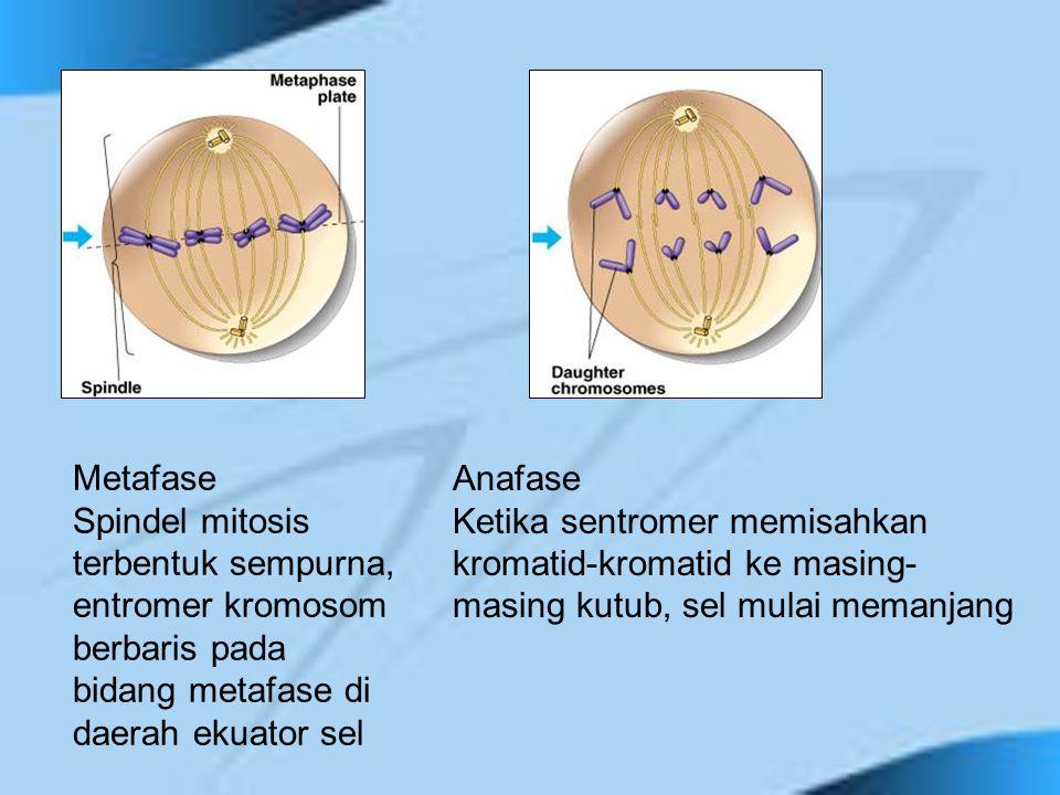 Metafase Spindel mitosis terbentuk sempurna, entromer kromosom berbaris pada bidang metafase di daerah ekuator sel Anafase Ketika sentromer memisahkan
