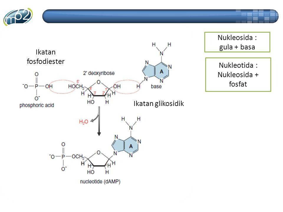 Ikatan fosfodiester Ikatan glikosidik Nukleosida : gula + basa Nukleotida : Nukleosida + fosfat