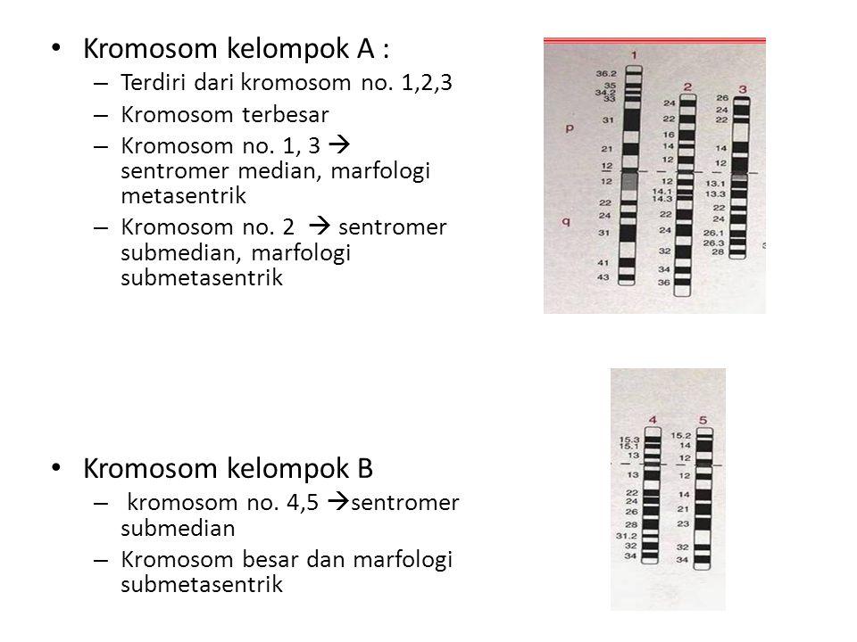 Kromosom kelompok A : – Terdiri dari kromosom no. 1,2,3 – Kromosom terbesar – Kromosom no. 1, 3  sentromer median, marfologi metasentrik – Kromosom n