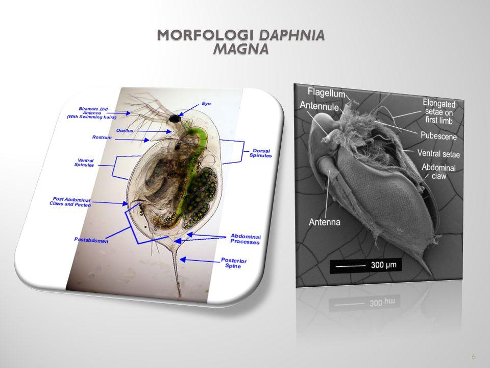 MORFOLOGI DAPHNIA MAGNA 6