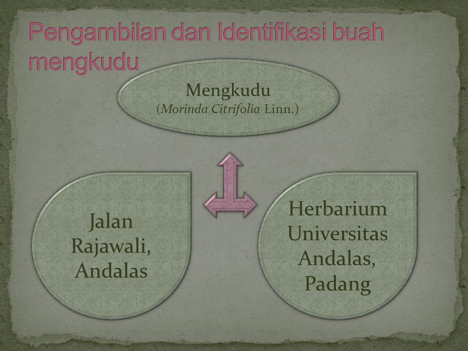 Mengkudu (Morinda Citrifolia Linn.) Mengkudu (Morinda Citrifolia Linn.) Jalan Rajawali, Andalas Herbarium Universitas Andalas, Padang