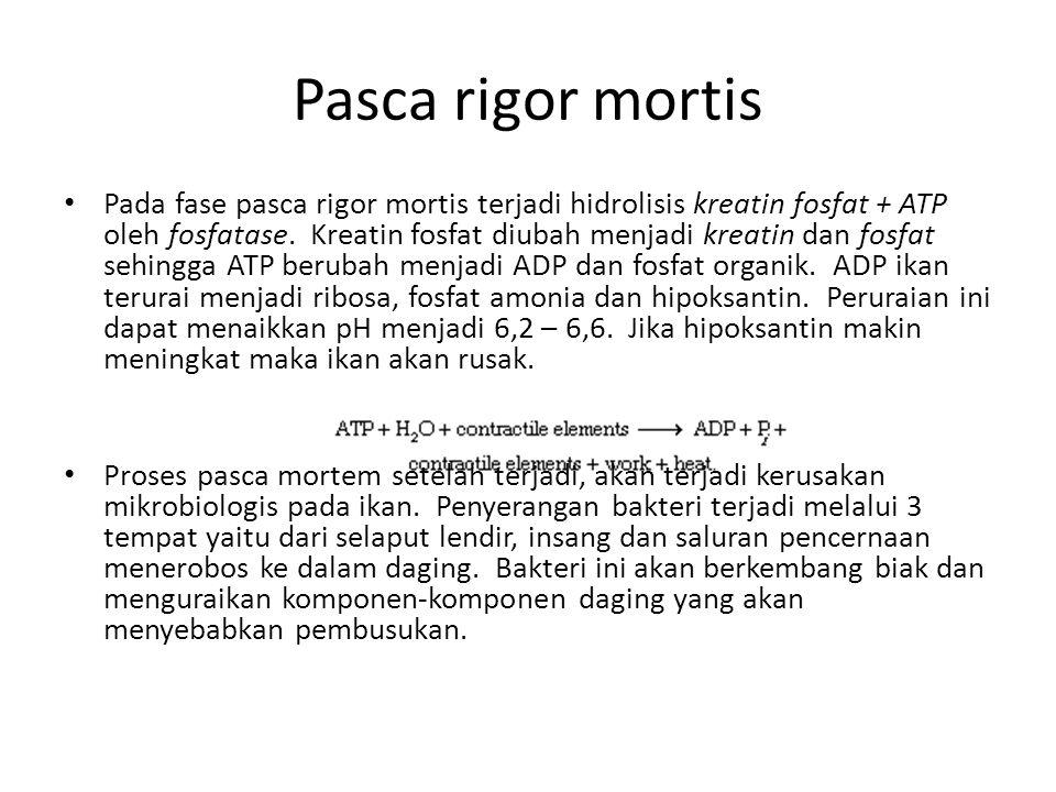 Pasca rigor mortis Pada fase pasca rigor mortis terjadi hidrolisis kreatin fosfat + ATP oleh fosfatase.
