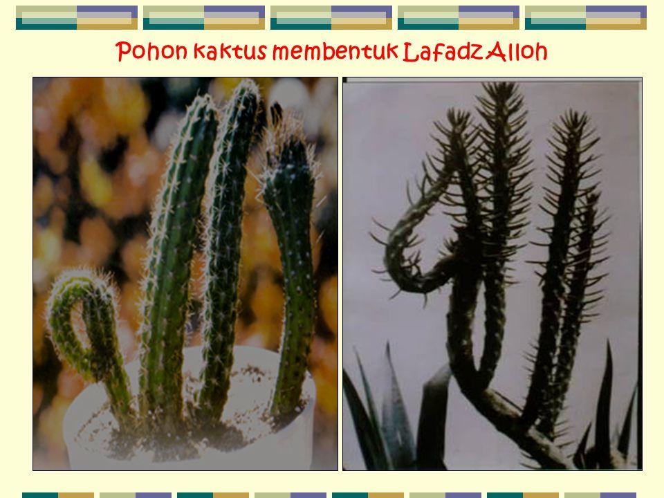 Pohon kaktus membentuk Lafadz Alloh