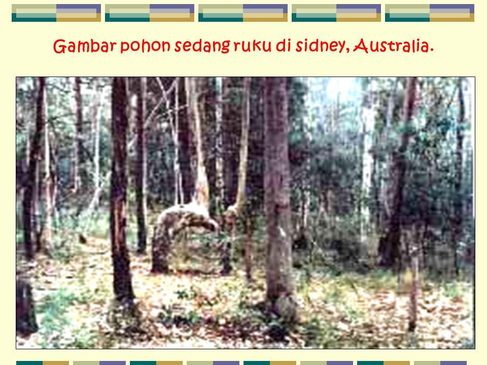Gambar pohon sedang ruku di sidney, Australia.
