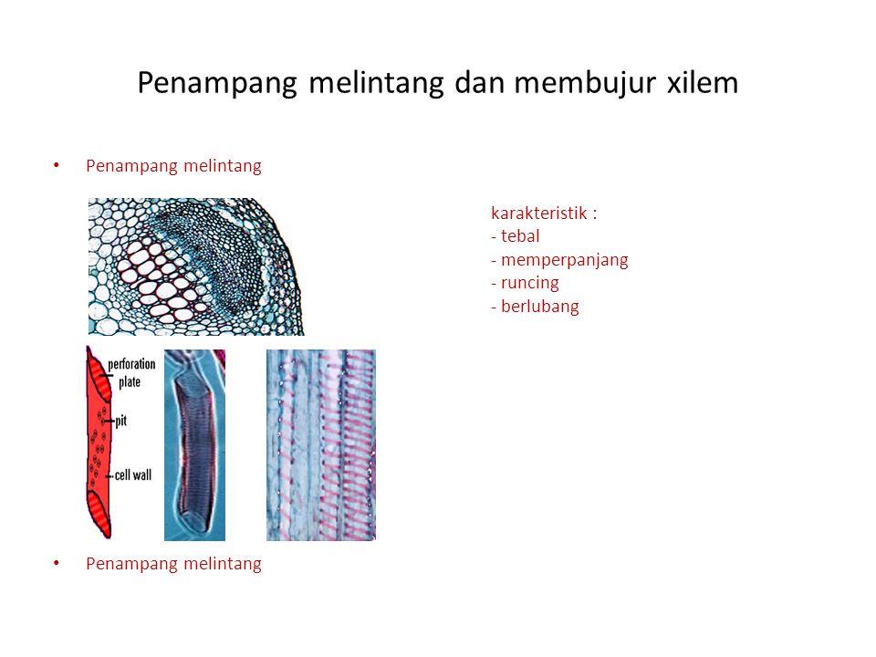 Penampang melintang dan membujur xilem Penampang melintang karakteristik : - tebal - memperpanjang - runcing - berlubang Penampang melintang