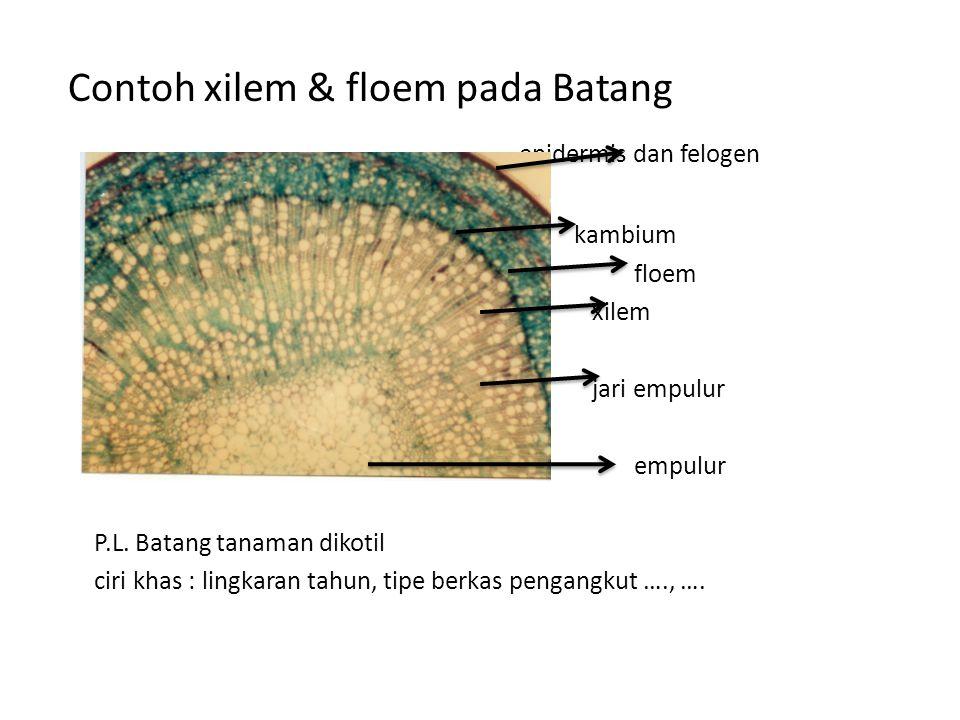 Contoh xilem & floem pada Batang epidermis dan felogen kambium floem xilem jari empulur empulur P.L. Batang tanaman dikotil ciri khas : lingkaran tahu