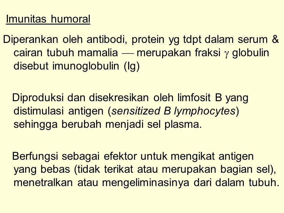 Imunitas humoral Diperankan oleh antibodi, protein yg tdpt dalam serum & cairan tubuh mamalia  merupakan fraksi  globulin disebut imunoglobulin (Ig)