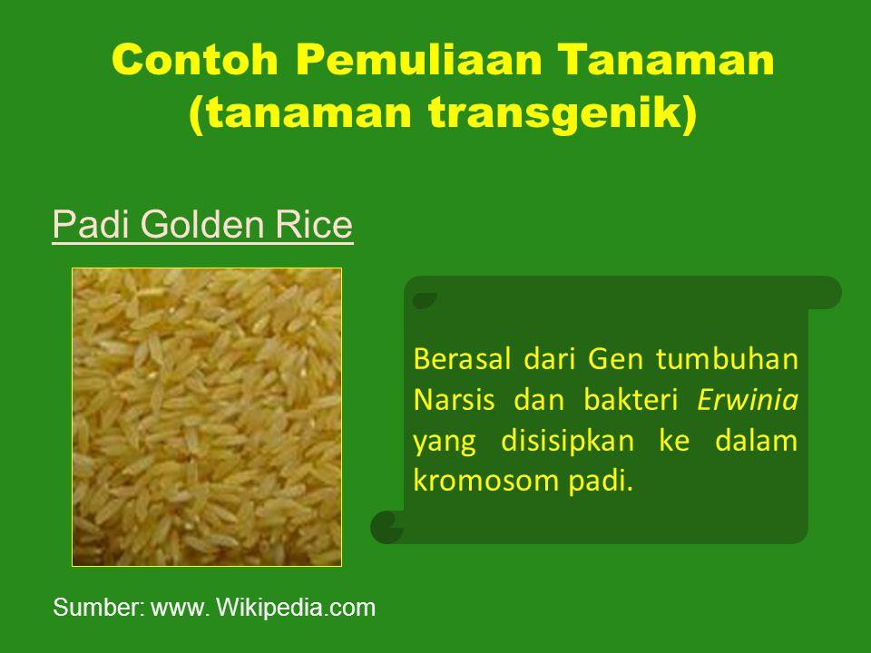 Contoh Pemuliaan Tanaman (tanaman transgenik) Padi Golden Rice Berasal dari Gen tumbuhan Narsis dan bakteri Erwinia yang disisipkan ke dalam kromosom