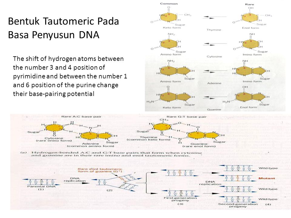 Bentuk Tautomeric Pada Basa Penyusun DNA The shift of hydrogen atoms between the number 3 and 4 position of pyrimidine and between the number 1 and 6