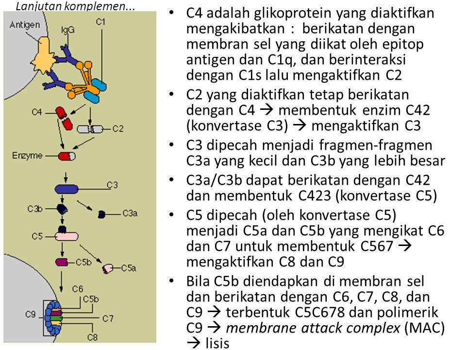Lanjutan komplemen... C4 adalah glikoprotein yang diaktifkan mengakibatkan : berikatan dengan membran sel yang diikat oleh epitop antigen dan C1q, dan