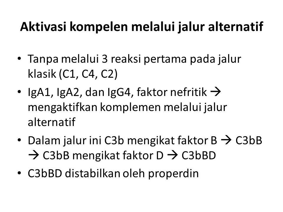 Aktivasi kompelen melalui jalur alternatif Tanpa melalui 3 reaksi pertama pada jalur klasik (C1, C4, C2) IgA1, IgA2, dan IgG4, faktor nefritik  mengaktifkan komplemen melalui jalur alternatif Dalam jalur ini C3b mengikat faktor B  C3bB  C3bB mengikat faktor D  C3bBD C3bBD distabilkan oleh properdin
