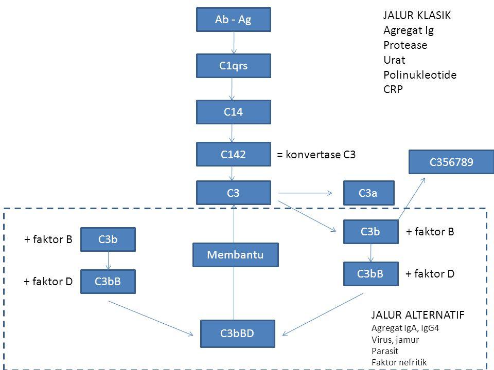 Ab - Ag C1qrs C14 C142 C3 C3a C3b + faktor B C3bB + faktor D C3bBD = konvertase C3 C3b + faktor B C3bB + faktor D C356789 Membantu JALUR KLASIK Agregat Ig Protease Urat Polinukleotide CRP JALUR ALTERNATIF Agregat IgA, IgG4 Virus, jamur Parasit Faktor nefritik