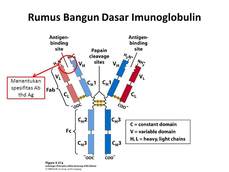 Rumus Bangun Dasar Imunoglobulin Menentukan spesifitas Ab thd Ag