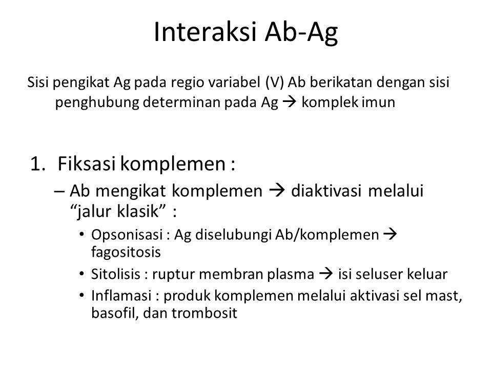 Interaksi Ab-Ag 1.Fiksasi komplemen : – Ab mengikat komplemen  diaktivasi melalui jalur klasik : Opsonisasi : Ag diselubungi Ab/komplemen  fagositosis Sitolisis : ruptur membran plasma  isi seluser keluar Inflamasi : produk komplemen melalui aktivasi sel mast, basofil, dan trombosit Sisi pengikat Ag pada regio variabel (V) Ab berikatan dengan sisi penghubung determinan pada Ag  komplek imun