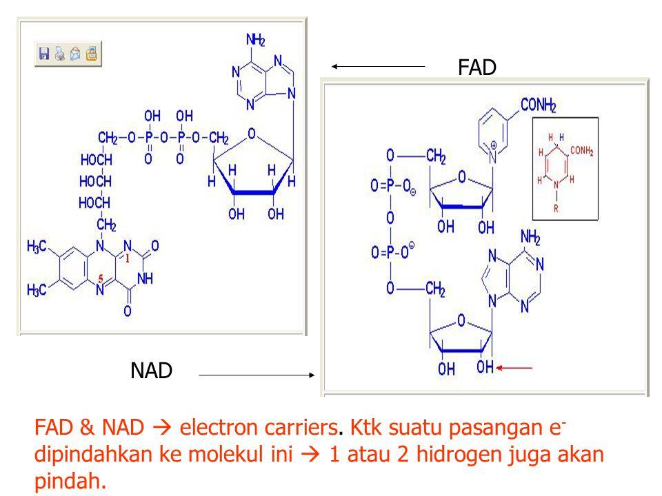 FAD NAD FAD & NAD  electron carriers.