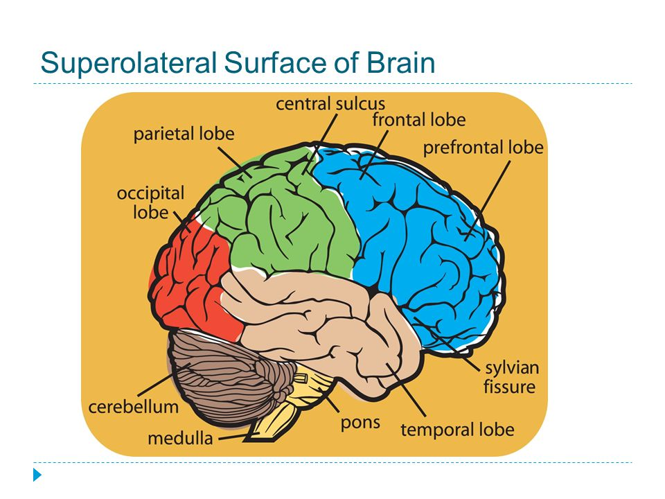 Superolateral Surface of Brain
