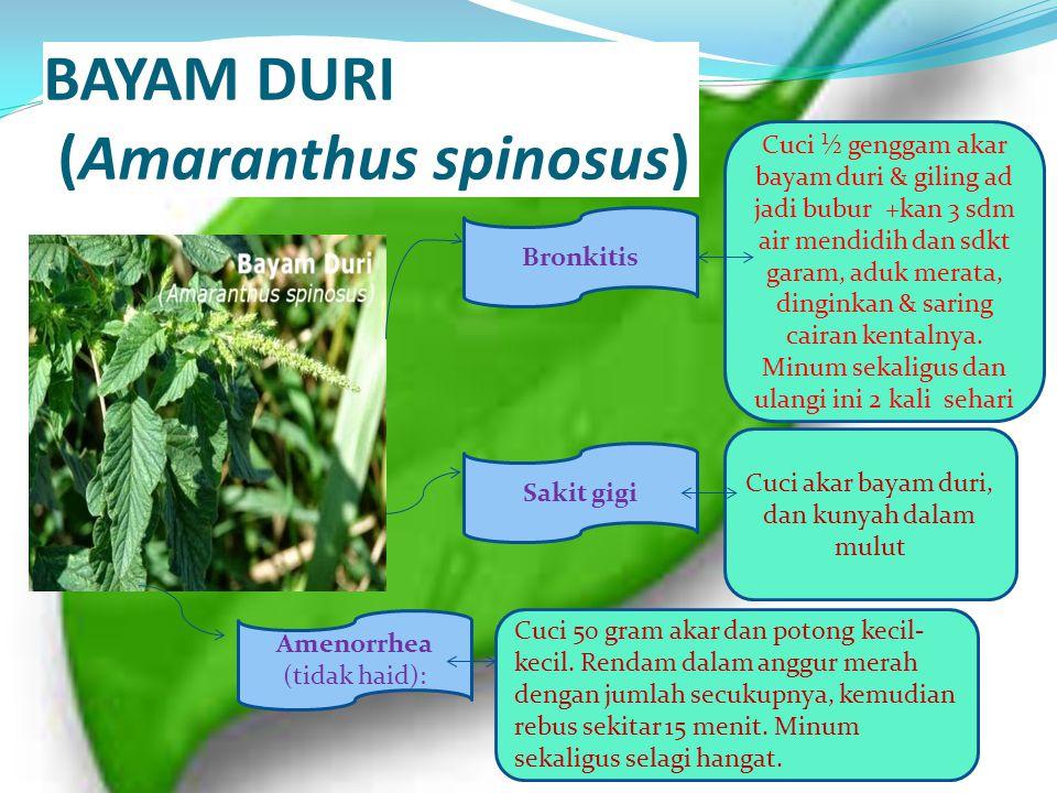 BAYAM DURI (Amaranthus spinosus) Bronkitis Sakit gigi Amenorrhea (tidak haid): Cuci ½ genggam akar bayam duri & giling ad jadi bubur +kan 3 sdm air me