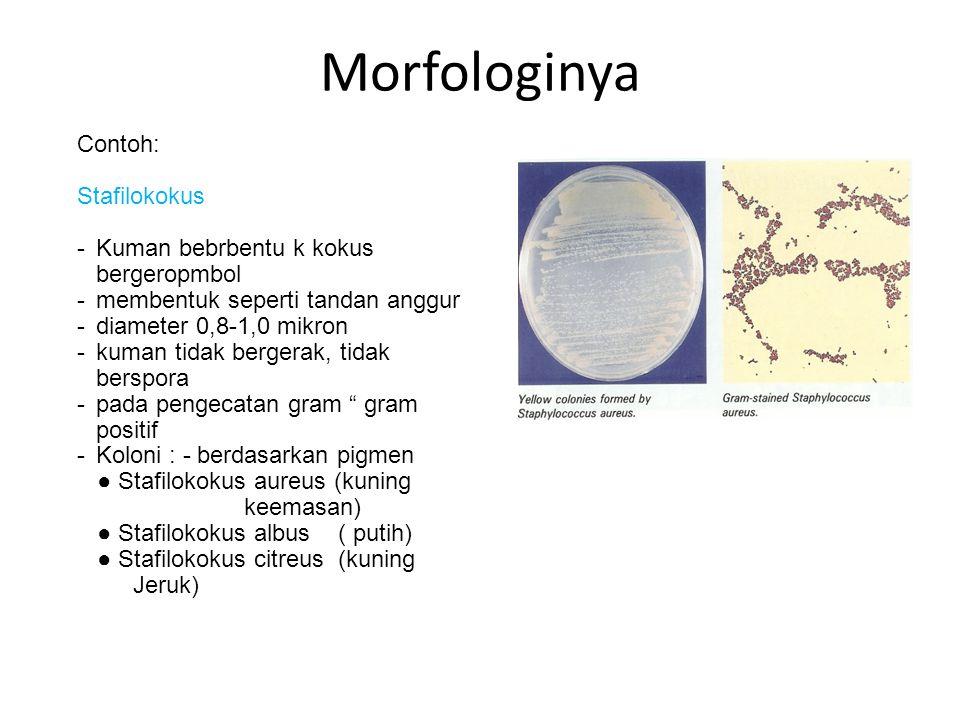 Morfologinya Contoh: Stafilokokus -Kuman bebrbentu k kokus bergeropmbol -membentuk seperti tandan anggur -diameter 0,8-1,0 mikron -kuman tidak bergera