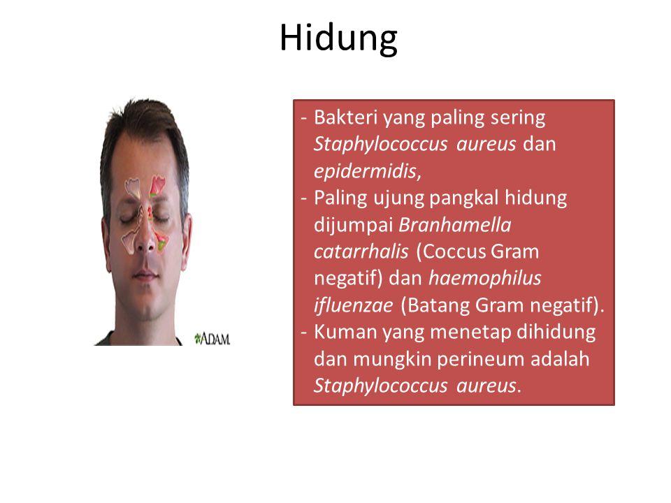 Hidung -Bakteri yang paling sering Staphylococcus aureus dan epidermidis, -Paling ujung pangkal hidung dijumpai Branhamella catarrhalis (Coccus Gram n